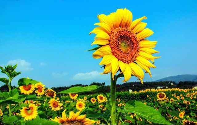 阳光下的向日葵9